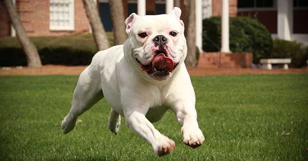 Barton mascot Bully running across Center Campus